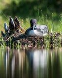 Общая гагара - национальный парк Acadia - Мейн Стоковые Изображения