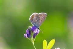 Общая голубая бабочка, Polyommatus Икар, на фиолетовом цветке Стоковые Фотографии RF