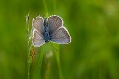 Общая голубая бабочка Polyommatus Икар на цветке Стоковые Фотографии RF