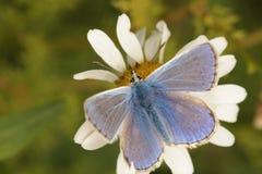Общая голубая бабочка. стоковая фотография