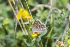Общая голубая бабочка (Polyommatus Икар) Стоковая Фотография