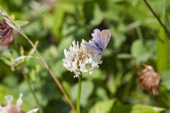 Общая голубая бабочка (Polyommatus Икар) Стоковое Изображение RF