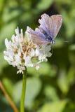 Общая голубая бабочка (Polyommatus Икар) Стоковые Изображения RF