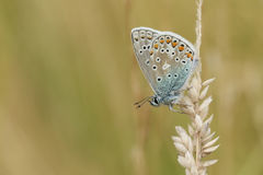 Общая голубая бабочка & x28; Polyommatus Икар & x29; Стоковое Изображение RF