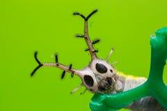 Общая гусеница паши Стоковая Фотография RF