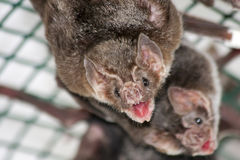 Общая летучая мышь вампира Стоковая Фотография