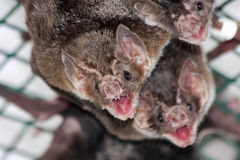 Общая летучая мышь вампира Стоковая Фотография RF