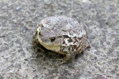 Общая жаба в земном цвете, камуфлирование среди животных стоковые фотографии rf
