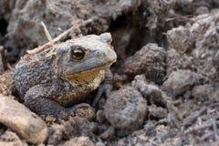 Общая жаба, европейская жаба Стоковая Фотография RF