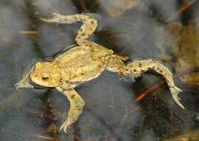 Общая жаба Стоковые Изображения