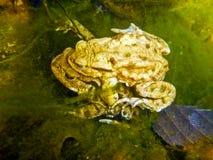 Общая жаба Bufo Bufo Стоковое Изображение