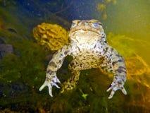 Общая жаба Bufo Bufo Стоковая Фотография