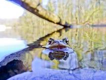 Общая жаба Bufo Bufo Стоковое Фото