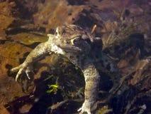 Общая жаба Bufo Bufo Стоковые Изображения