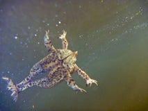 Общая жаба Bufo Bufo Стоковая Фотография RF