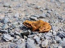 Общая жаба, temporaria Раны, сидя на скалистой дороге Стоковая Фотография RF
