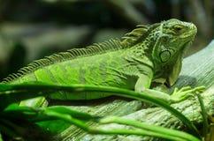 Общая зеленая игуана стоя на ветви Стоковые Изображения RF