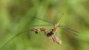 Общая змеешейка (striolatum Sympetrum) сидя на голове травы Стоковое Фото