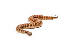 Общая змейка сумматора смерти приближать к камера стоковое изображение