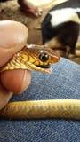Общая индийская змейка крысы стоковое изображение