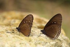 Общая индийская бабочка вороны (ядр Lucus Euploea) Стоковое Изображение RF