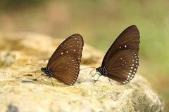 Общая индийская бабочка вороны (ядр Lucus Euploea) Стоковое фото RF