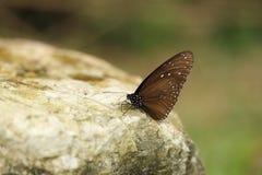 Общая индийская бабочка вороны (ядр Lucus Euploea) Стоковое Фото