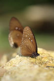 Общая индийская бабочка вороны (ядр Lucus Euploea) Стоковые Изображения