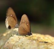 Общая индийская бабочка вороны (ядр Lucus Euploea) Стоковые Фотографии RF