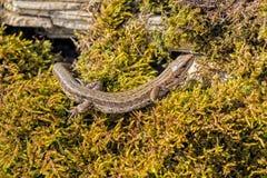 Общая или живородящая ящерица - vivipara Zootoca Стоковые Фотографии RF