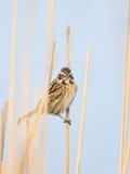 Общая камышовая овсянка в тростниках Стоковое Фото