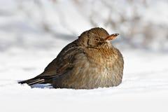 Общая кукушка, merula Turdus, сидя в снеге Птица в холодной зиме стоковые изображения rf