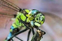 Общая лоточница, Dragonfly, Dragonfly лоточницы, juncea Aeshna стоковое фото rf