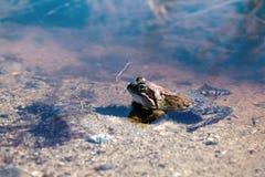Общая лягушка, коричневая женщина лягушки (temporaria Раны) весной Стоковые Изображения
