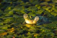 Общая лягушка озера зеленая лягушк или лягушка воды в воде внутри Стоковые Фотографии RF