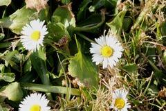 Общая маргаритка, английская маргаритка, perennis Bellis Стоковые Фото