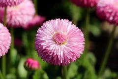 Общая маргаритка или perennis Bellis завод herbaceous постоянный с большим розовым помпоном как цветок с желтым центром окруженны стоковое изображение