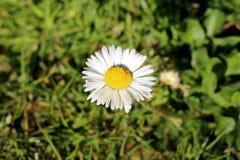 Общая маргаритка или perennis Bellis завод herbaceous постоянный с sessile цветками содержа белые florets луча и желтый диск стоковое изображение rf
