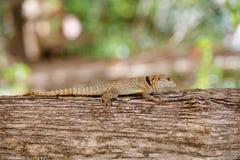 Общая малая collared ящерица iguanid, Мадагаскар Стоковая Фотография RF