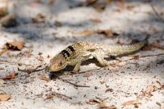Общая малая collared ящерица iguanid, Мадагаскар Стоковые Изображения RF