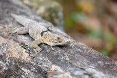 Общая малая collared ящерица iguanid, Мадагаскар Стоковое Изображение RF