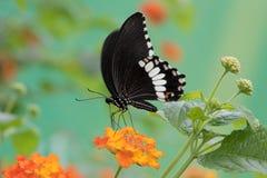Общая Мормон на цветке стоковое изображение