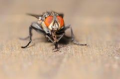 Общая муха дома Стоковая Фотография