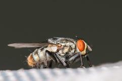 Общая муха дома Стоковые Изображения