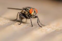 Общая муха дома Стоковое Фото