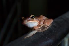 Общая оранжевая лягушка куста сидя на ограждать Стоковая Фотография