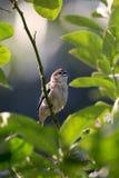 Общая птица воробья Стоковые Фотографии RF