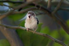Общая птица воробья Стоковая Фотография