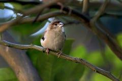 Общая птица воробья Стоковое Фото
