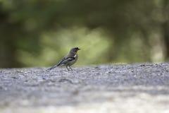 Общая птица зяблика идя на гравий стоковая фотография
